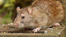 Comment Se D 233 Barrasser Des Rats C 244 T 233 Maison
