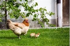Hühner Im Garten - seminar des 214 bz h 252 hner in meinem garten 171 events 171 gr 252 n