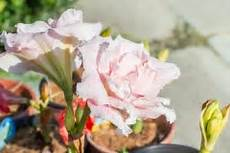 amaryllis pflege im sommer amaryllis wieder zum bl 252 hen bringen 187 so gelingt s