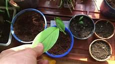 exotische fr 252 chte update avokado pflanzen ingwer mango