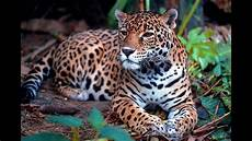 jaguar facts and figures youtube