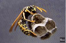petit nid de guepe que faire quand on d 233 couvre un nid de gu 234 pes charles