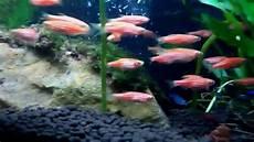 Gambar Ikan Zebra Pink Aires Gambar