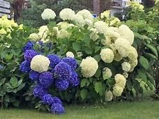 hortensien umpflanzen september hydrangea arborescens annabell pflanzen sommer anfang