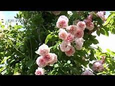 comment tailler un rosier grimpant jardinerie truffaut