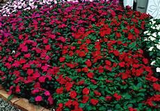 blumen für den schatten obi balkon und beetberater infos zu balkonblumen