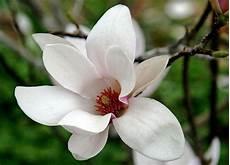 fiore di fiori e pensieri fiore di magnolia