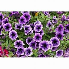 Buy Petunia Seeds Order Petunia Flower Seed Buy