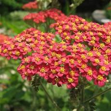 plantes vivaces 224 fleurs rouges 200 vari 233 t 233 s vendues en