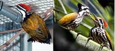 Tips Penangkaran Burung Pelatuk Bawang Om Kicau