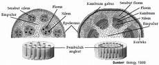 Struktur Batang Dikotil Dan Monokotil