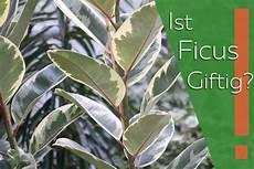 Ist Ficus Giftig Infos Zu 10 Arten Wie Ginseng Lyrata Co