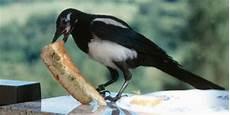 elster vogel diebisch elster rabenvogel mit kontrastreichem gefieder