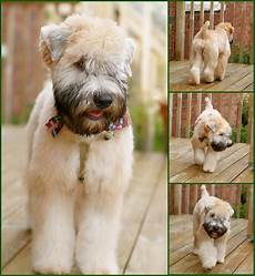 haircuts for wheaten terriers how to cut a wheaten terriers hair hairstyle gallery