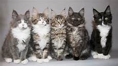 cat breeders maine coon cat information big friendly