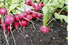 comment planter des radis rouges jardin de grand meres