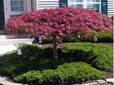 arbre d 233 coratif jardin mc immo