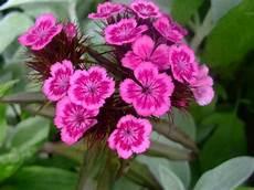 nomi fiori giapponesi fiori piante e giardini mondo il garofano dagli