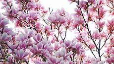 magnolia flower iphone wallpaper magnolia flower wallpapers best collection free
