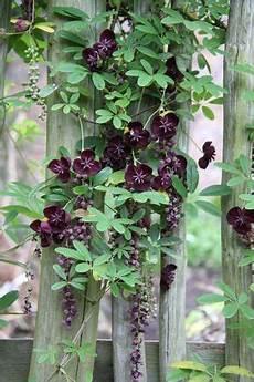 Vigorous Climbing Plants