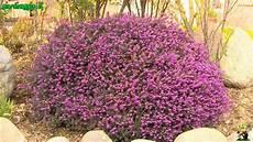 piante fiorite perenni perenni sempreverdi