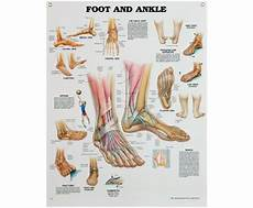 Anatomical Foot Diagram by Anatomical Poster Of Foot Ankle As40 163 14 95