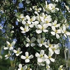 clematis montana schneiden climbing plants growing guide suttons gardening grow how