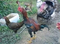 E1familyfarm Ayam Ayam Jantan E1familyfarm Koleksi Gambar