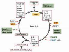 how many atp and nadph2 are required for the synthesis of one molecule of glucose in a c3 cycle