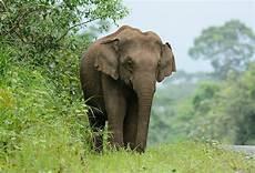 Malvorlage Indischer Elefant Indischer Elefant Bilder Und Stockfotos Istock