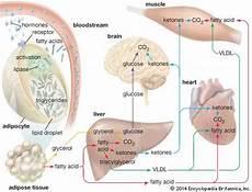 adipose tissue anatomy britannica com