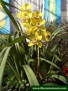 cymbidium orchideen pflege cymbidium kahnorchidee