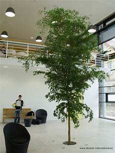 baum im raum bucida buceras 5 5 m solitary tree at