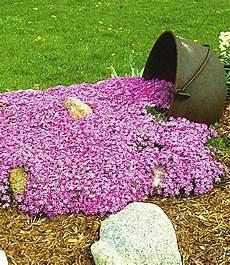 Baldur Garten Teppichphlox Emerald Pink Winterharter