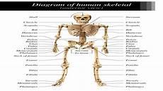 labeled skeletal system diagram bodytomy