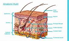 Anatomi Kulit Manusia Terdiri Dari Beberapa Lapisan Dengan
