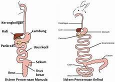 Jelaskan Perbedaan Antara Anatomi Lambung Dan Struktur