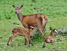 why is deer the plural form of deer quora