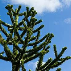 araucaria monkey puzzle how to plant grow and care for