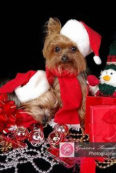 66 best yorkies christmas images pinterest yorkies yorkshire terriers and yorkie