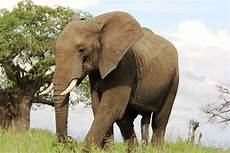 12 Sketsa Gambar Mewarnai Binatang Gajah