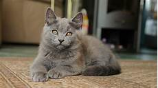 cat breeders chartreux cat breeders in the united states available