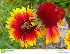Malvorlage Biene Und Blume Biene Auf Gelber Und Roter Blume Stockbild Bild