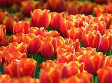 Gambar Bunga Tulip Dari Belanda Yang Lucu Ayeey