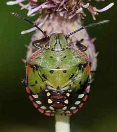 punaise de jardin 27627 la punaise l insecte rep 233 rable 224 odeur
