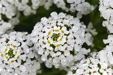 fiori profumati da giardino iberis pianta apprezzata per i suoi fiori brillanti e