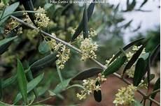 fiori di ulivo l ulivo di puglia