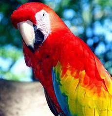Burung Bayan Ruana Sagita