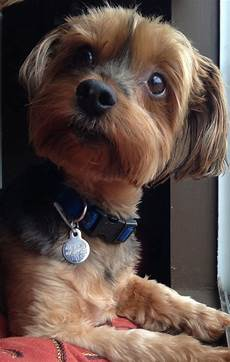 20 best yorkie poo haircuts images by pinterest yorkie poo haircut dogs and dog grooming