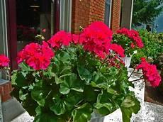 die geranien typische balkonblumen mit charme